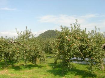 りんご畑と若木山