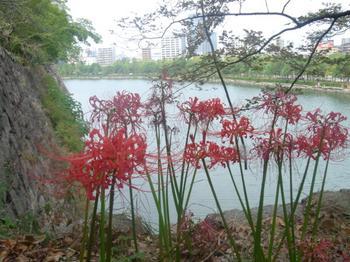 太閤さんのお堀には、彼岸花がよく似合う。