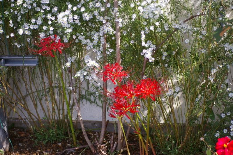 彼岸花今年も咲きました