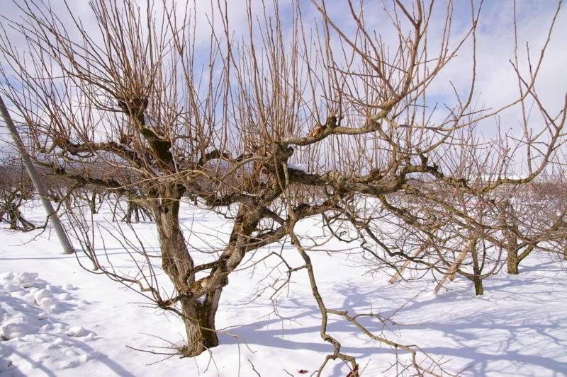 東根市神町営団 「冬の桃の木」