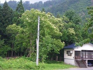 小国 「栗の木」