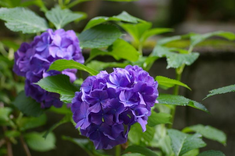 我が家の紫陽花たち