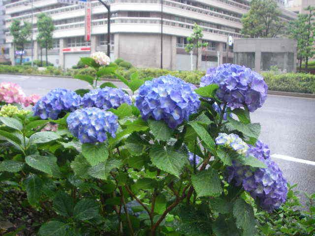 東京新橋界隈 「雨降りにアジサイ」