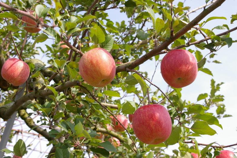 神町西のりんご畑