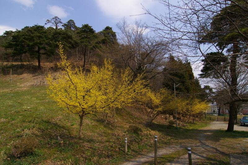 若木山の山茱萸