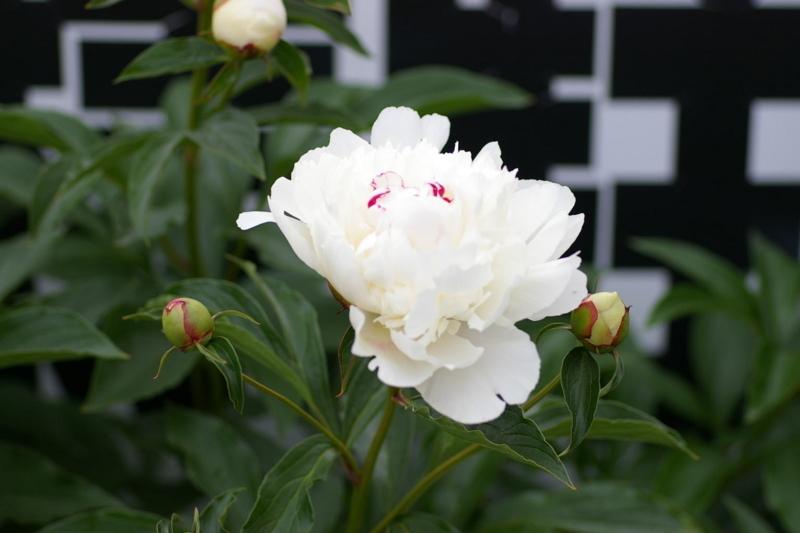 土屋薬局お客様駐車場 「芍薬の花」