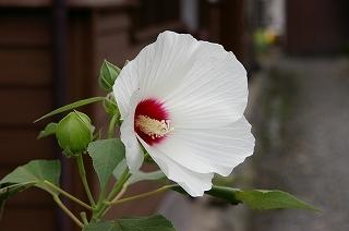 白い芙蓉の花