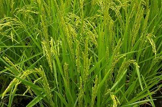稲は青々と育っています。
