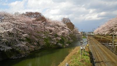 山形市霞城公園の桜満開でした!