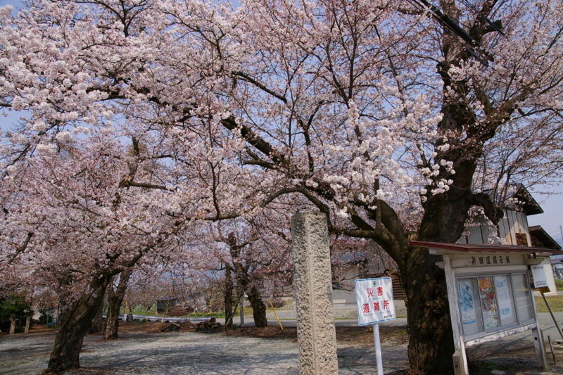 東根市 板垣神社の桜