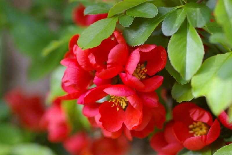 我が家の庭 木瓜の真紅の花