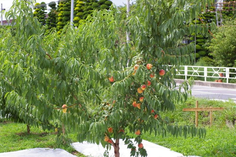 東根市の桃です。