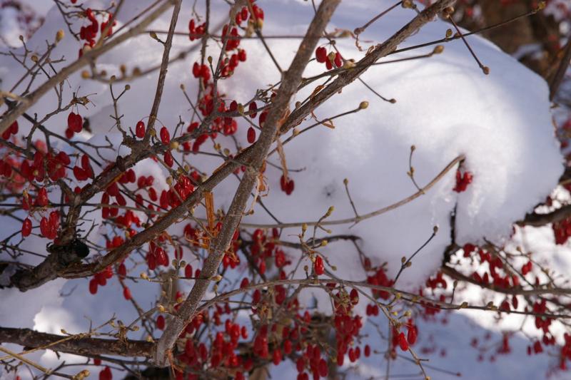 若木山 山茱萸も雪隠れ