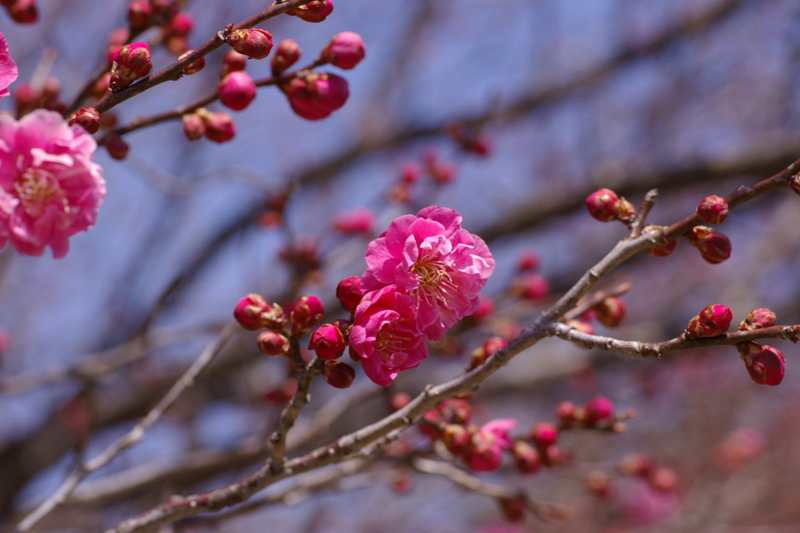 若木山公園の近く 官舎で梅の花が咲きました