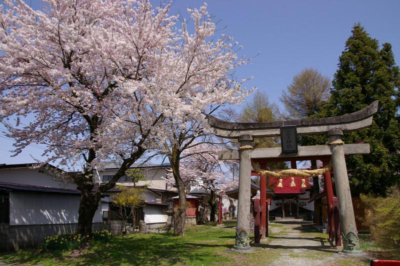 I若木山 桜、今年も咲きました!