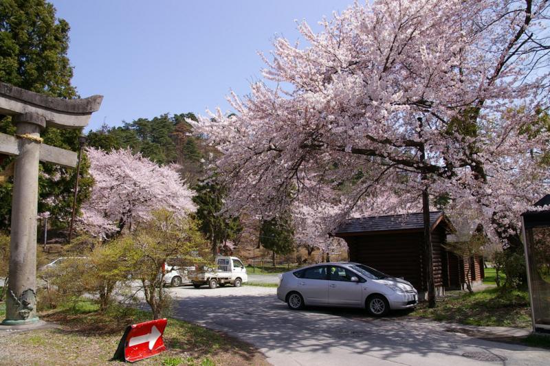 若木山 桜、今年も咲きました!