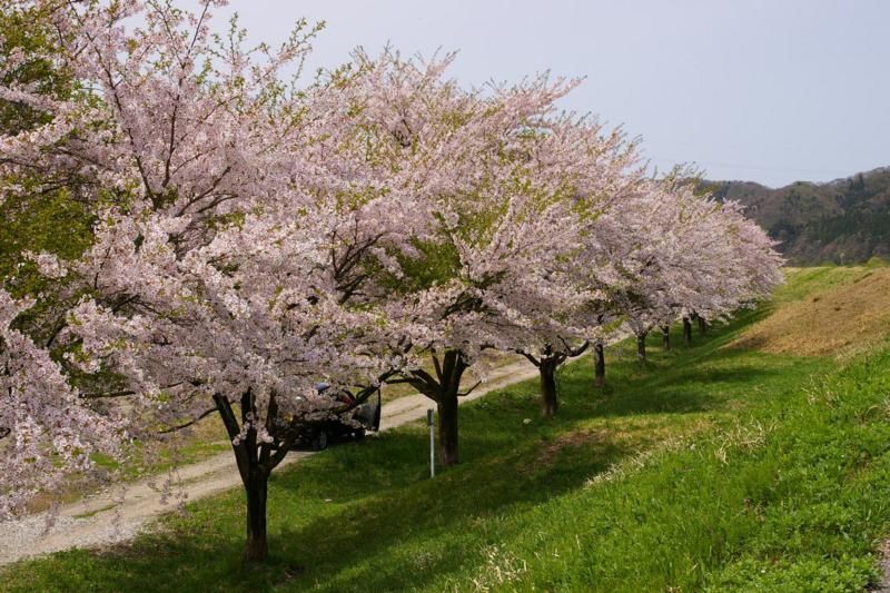 新潟県関川村 荒川沿いの桜