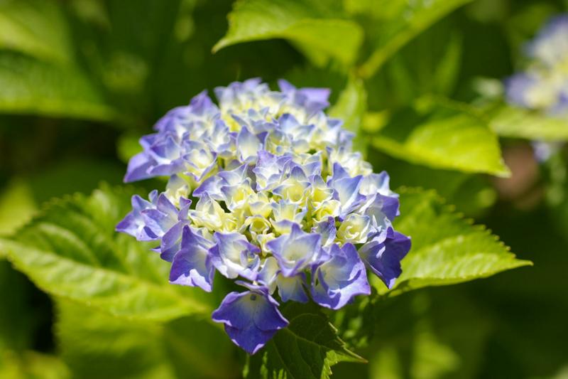 我が家の庭 紫陽花