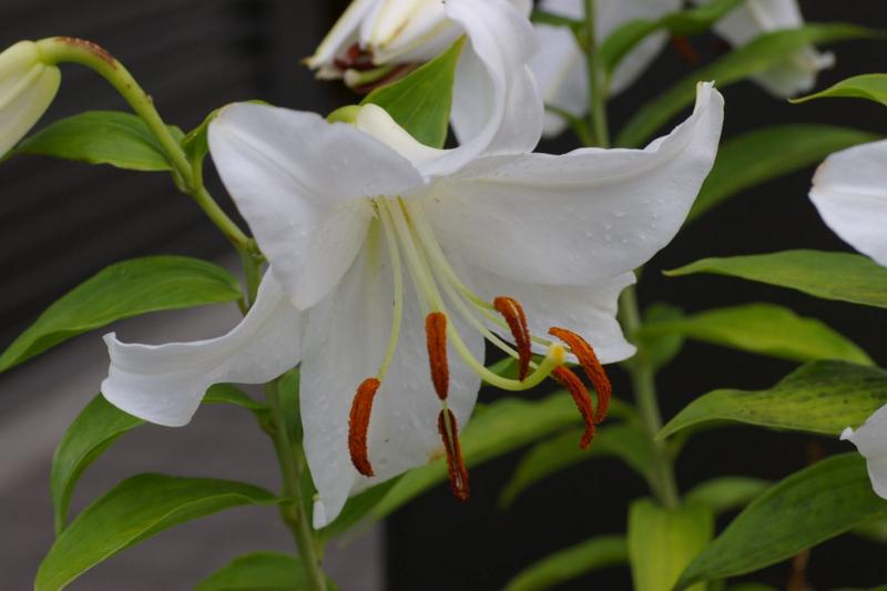 我が家の白いユリの花