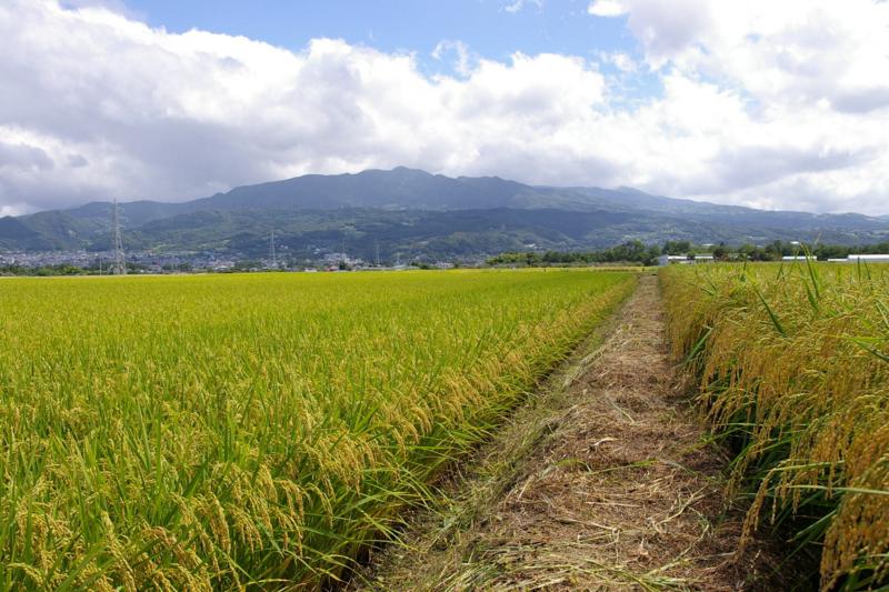 山形市 たわわに実る稲、そして蔵王眺め