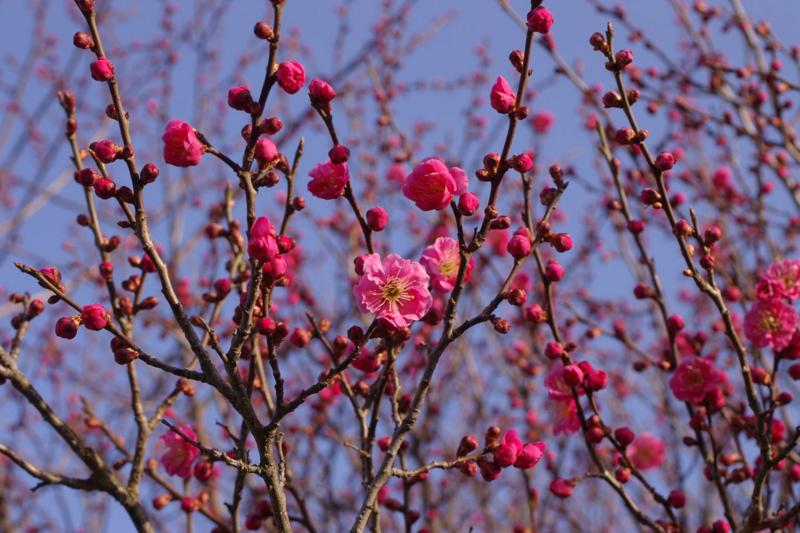 朝日を浴びる紅梅、梅の花の香りが素敵です