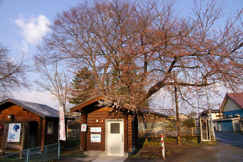 若木山公園の桜 開花しました!