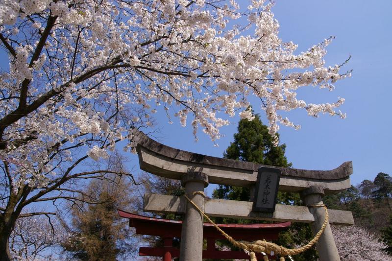 若木神社 桜が満開