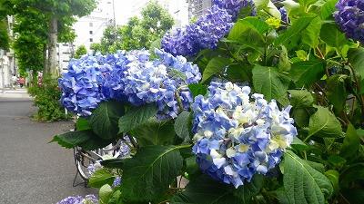虎ノ門の紫陽花