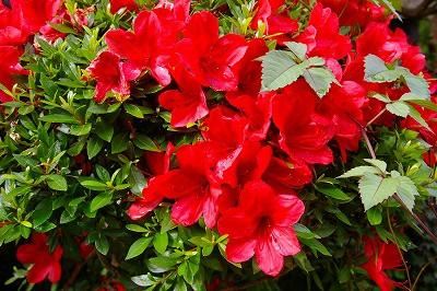 ツツジの赤い花