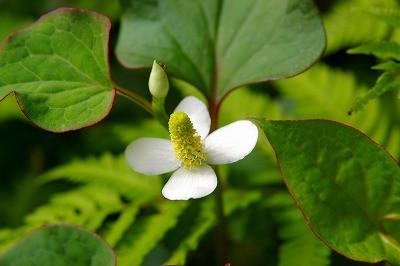 ドクダミの可憐な白い花