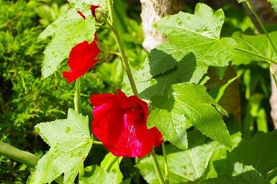 我が家の庭 立葵