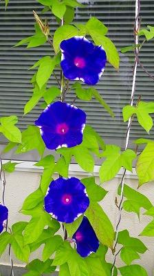 我が家の朝顔 今年も元気に咲きました