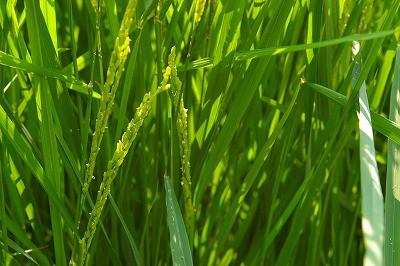 田んぼの稲の花