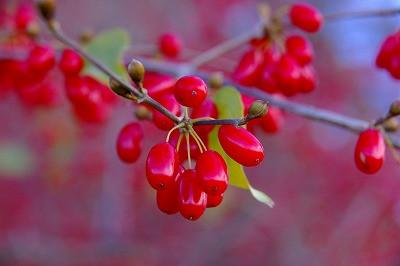 若木山の山茱萸の赤い実