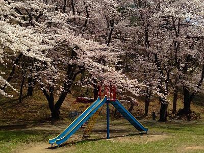 若木山公園 桜満開