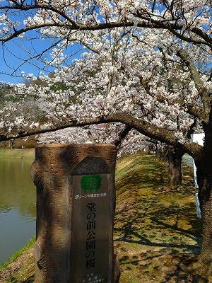 桜満開の堂の前公園