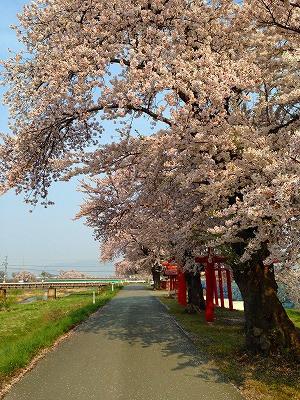 東根市白水川堤防 桜満開です