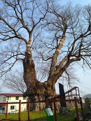 日本一の大欅