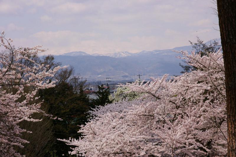 若木山より満開の桜をバックに月山を撮影