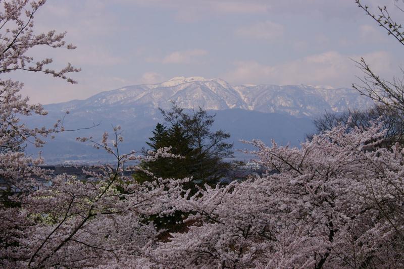 満開の桜と葉山