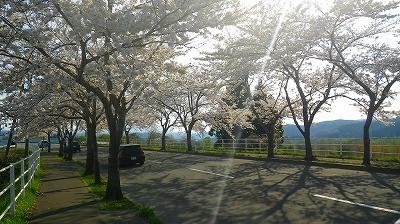 むつ市の国道 桜満開