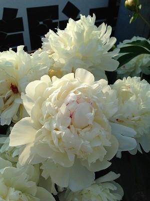 芍薬の花に顔をつけると冷んやりしますし、とても肌触りがいいのです。