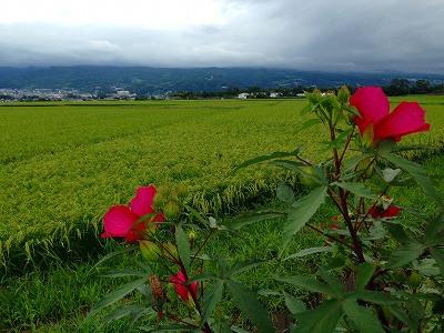 紅い芙蓉の花