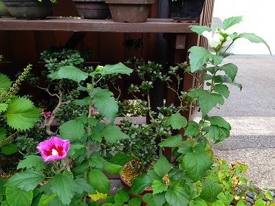 我が家の庭のソウタンとムクゲの花です。
