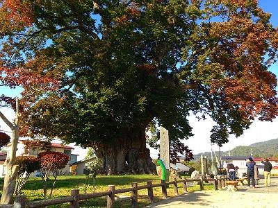 東根市の大欅