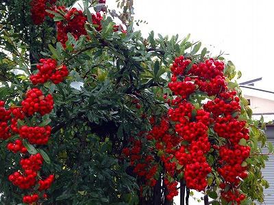 こんなときには赤い実のピラカンサが目立ちます。