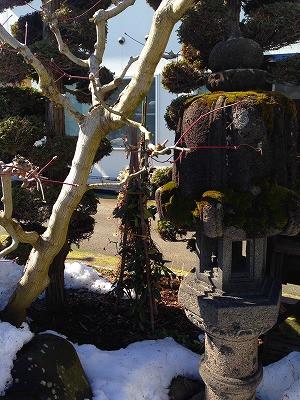 ハウチワカエデの芽と石灯籠