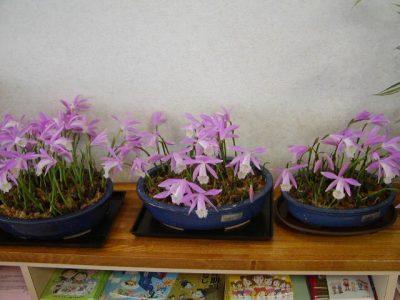 台湾朱鷺草