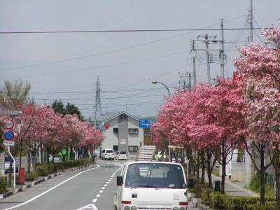 神町の5月の様子、ハナミズキが綺麗です。