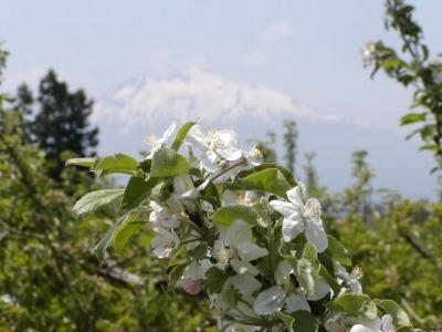 「岩木山にはりんごの花がよく似合う」